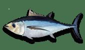 Deep Sea Fishing Albacore Tuna