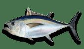 Deep Sea Fishing Bigeye Tuna