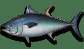 Deep Sea Fishing Bluefin Tuna