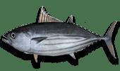 Deep Sea Fishing Skipjack Tuna