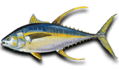 Deep Sea Fishing Yellowfin Tuna