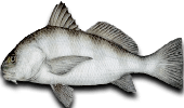 Inshore Fishing Black Drum