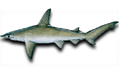 Inshore Fishing Bonnethead Shark