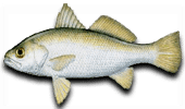 Inshore Fishing Silver Perch