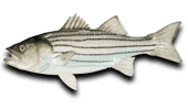 Inshore Fishing Stripped Sea Bass