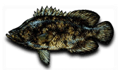Inshore Fishing Tripletail