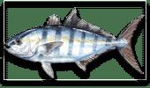Nearshore Fishing Banded Rudderfish