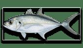 Nearshore Fishing Blue Runner