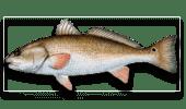 Nearshore Fishing Red Drum-Redfish