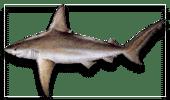 Nearshore Fishing Sandbar Shark
