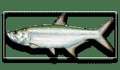 Nearshore Fishing Tarpon