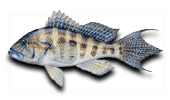Offshore Fishing Bank Sea Bass