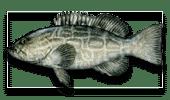 Offshore Fishing Black Grouper