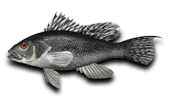 Offshore Fishing Black Sea Bass