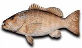 Offshore Fishing Cubera Snapper