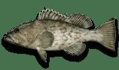 Offshore Fishing Gag Grouper