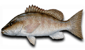 Offshore Fishing Gray Snapper