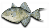 Offshore Fishing Gray Triggerfish