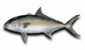 Offshore Fishing Greater Amberjack