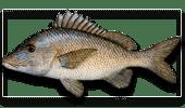 Offshore Fishing Grunt