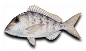 Offshore Fishing Jolthead Porgy