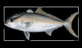 Offshore Fishing Lesser Amberjack