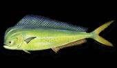 Offshore Fishing Mahi-Mahi Dorado