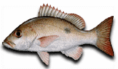 Offshore Fishing Mahogany Snapper