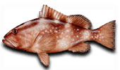 Offshore Fishing-Red-Grouper