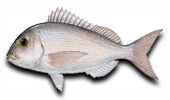 Offshore Fishing Red Porgy
