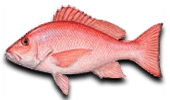 Offshore Fishing- Red Snapper