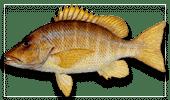 Offshore Fishing Schoolmaster-Snapper