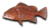 Offshore Fishing Speckled Hind