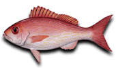 Offshore Fishing Vermilion Snapper