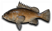 Offshore Fishing Warsaw Grouper