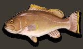 Offshore Fishing Yellowedge Grouper